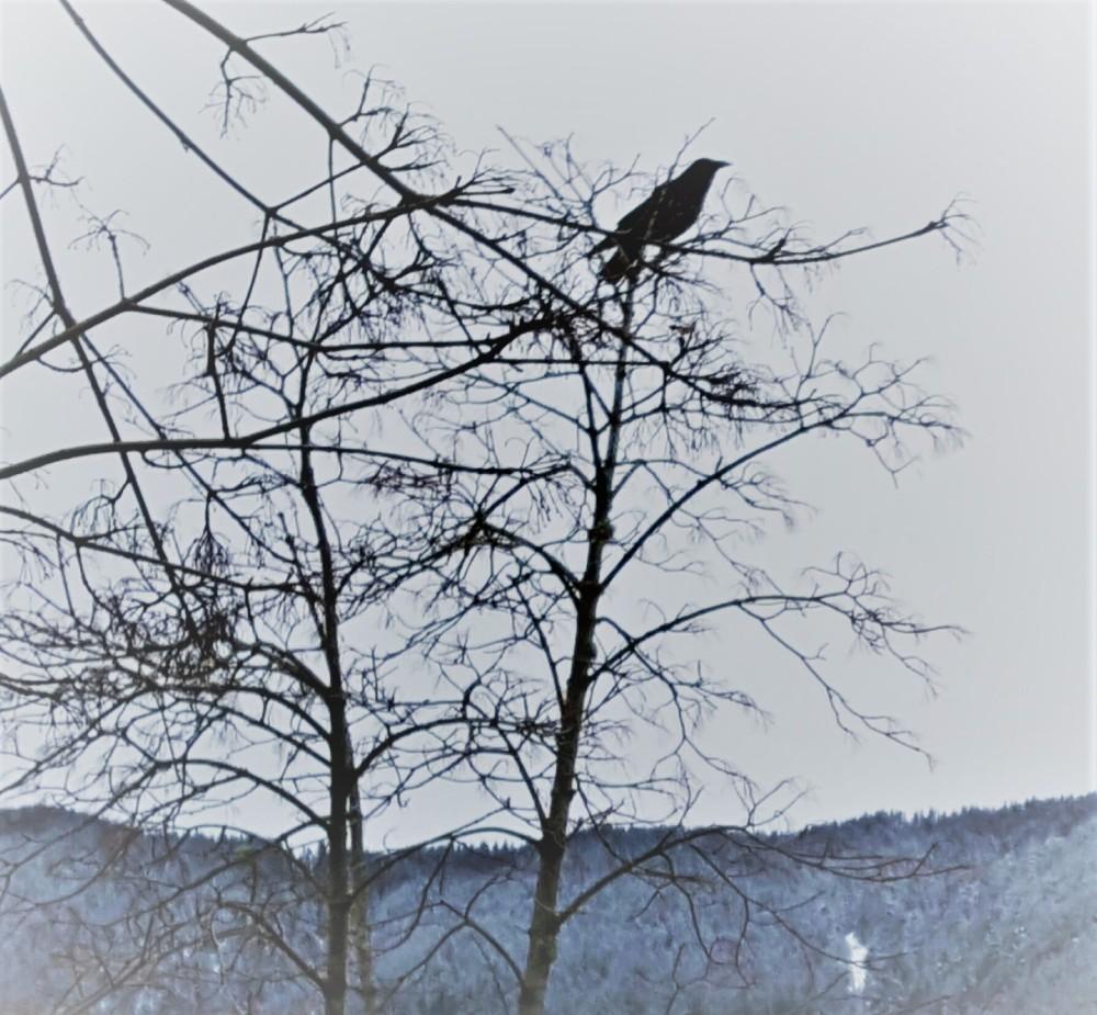 Sheri's Crow